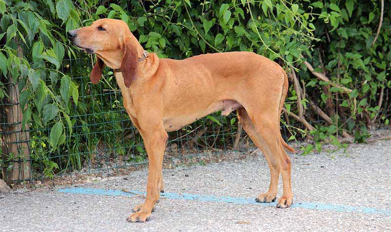 Razze cani da caccia: Segugio