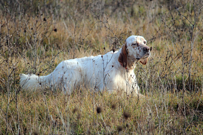 The hunting dog, history and breeds.