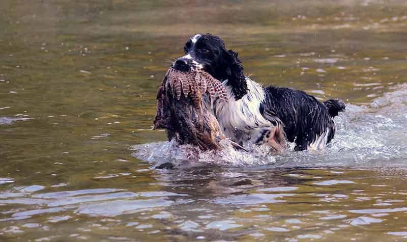 Razze cani da caccia: Springer Spaniel