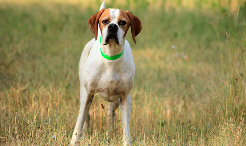 English Pointer 2 years old