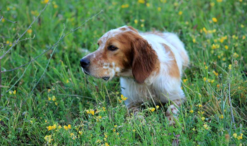 ENGLISH SETTER WELL STARTED